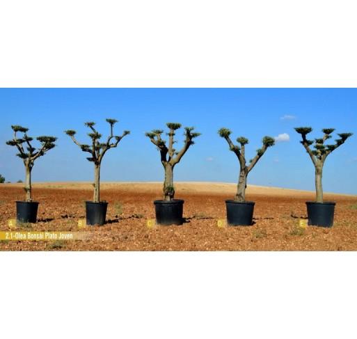 Olea bonsai plato Joven