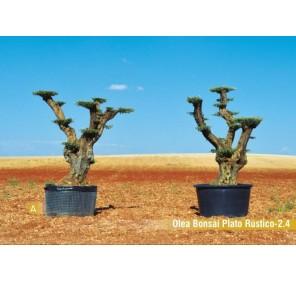 Olea bonsai plato Rústico