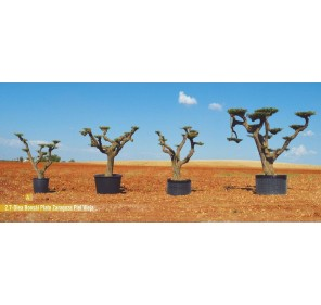 Olea bonsai plato zaragoza piel vieja